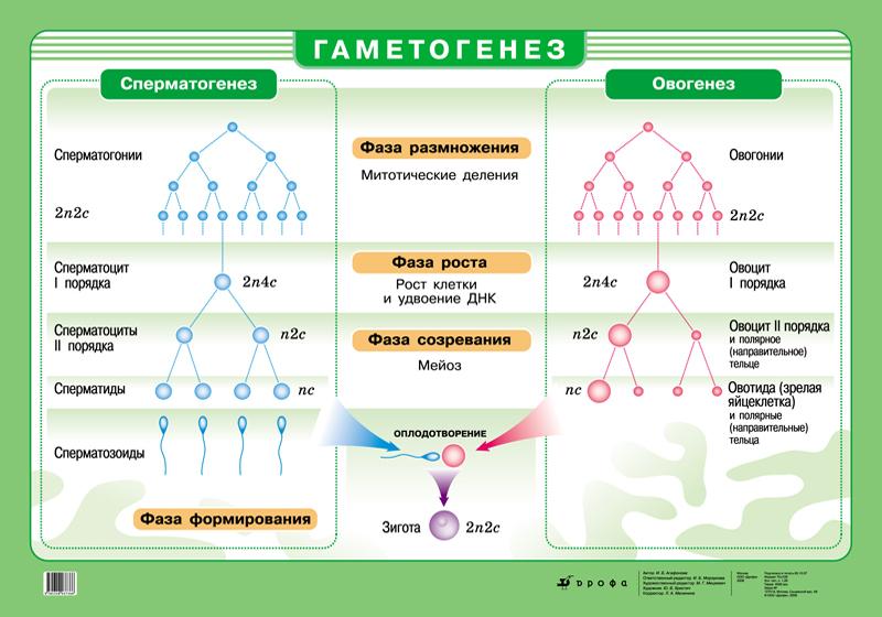 sravnite-fazi-spermatogeneza-i-ovogeneza